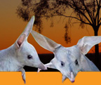 Save The Bilby Fund - www.savethebilbyfund.org